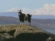 Goat at Rubha na h-Airde Glaise